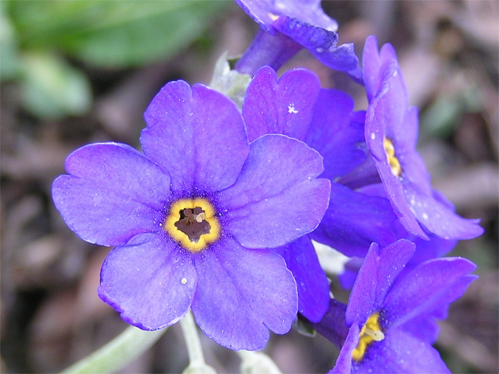 Purple Forget Me Not Flower